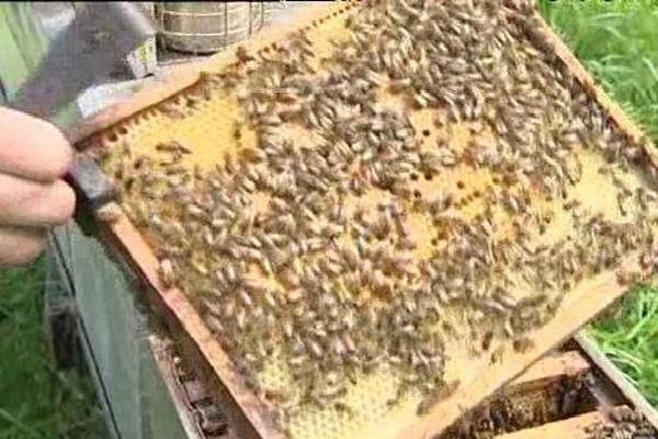 Les abeilles ne sont pas en mauvaise santé mais elles n'ont rien à se mettre sous la dent. La météo, très capricieuse cette année, ne leur a pas permis de butiner autant qu'elles l'auraient voulu.