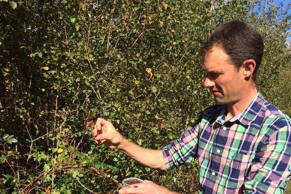 Luc Vancrayelynghe récolte des baies d'églantiers qui pourront fournir des graines