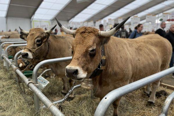 Avec ses yeux maquillés, la vache Aubrac est reconnaissable entre toutes.