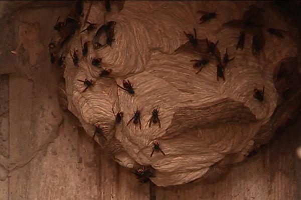 Un nid de frelons asiatiques dans un abri de jardin de l'Eure