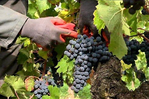 Les vendanges en rouge ont débuté dans le vignoble des Pays de la Loire