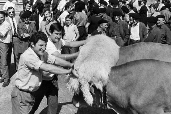 Jean-Louis Azarete  (à droite)  s'entraîne en retenant deux boeufs, le 16 février 1972, à Bayonne avant le match de rugby opposant la France à l'Angleterre