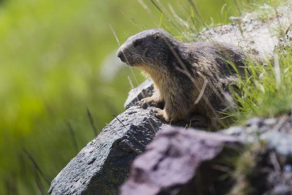 Une marmotte alpine. Un député veut interdire la chasse à la marmotte, qui tue une vingtaine de rongeurs par an.