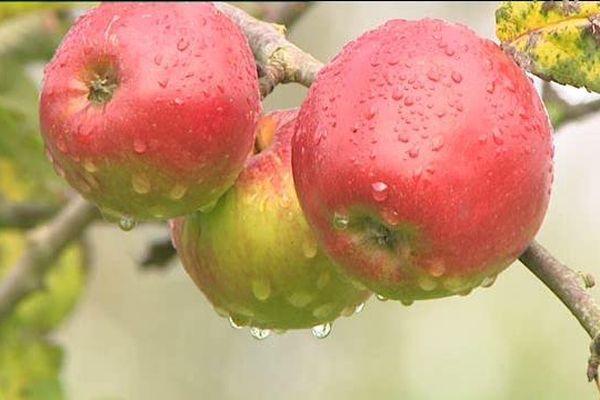 171 variétés de pommes s'épanouissent dans le verger de Crémarest près de Boulogne-sur-Mer