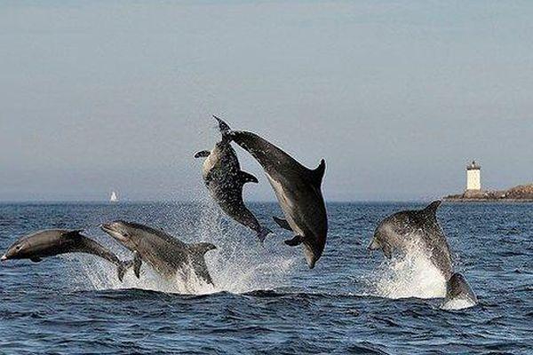 Dauphins sauteurs et farceurs de la mer d'Iroise