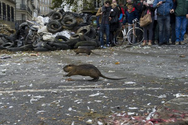 Les ragondins ont été lâchés dans Nantes avant d'être frappés par les agriculteurs