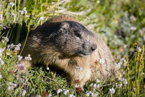 La marmotte est devenue la mascotte des Hautes-Alpes