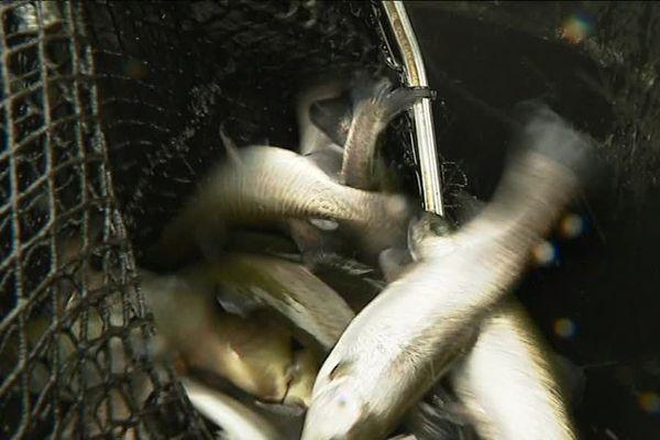 Des truites arcs-en-ciel et fario ont été déversées dans les cours d'eau bretons