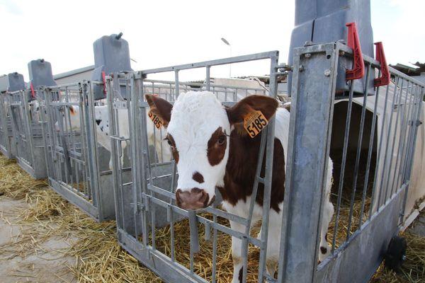 La Ferme des mille vaches, installée à Drucat, dans la Somme, se concrétise en 2013. Cette ferme géante est en rupture totale avec le modèle d'élevage français et a suscité beaucoup d'oppositions.