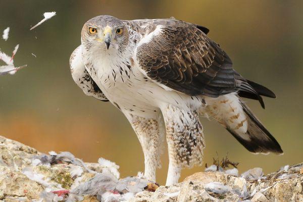 L'aigle de Bonelli est présent dans les gorges du Gardon