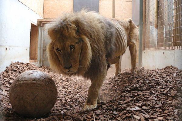 Peu après son arrivée à Saint-Martin-la-Plaine, Jon est squelettique, pèse moitié moins du poids normal d'un lion de son âge.