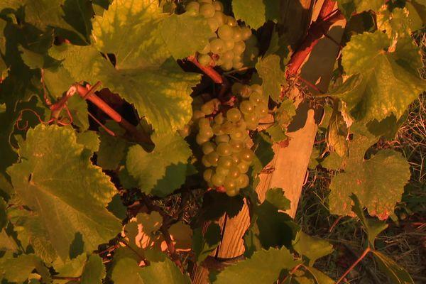 """Le mois d'avril 2021 restera dans les mémoires des vignerons du Sud-Ardèche. En quelques heures, des centaines d'hectares ont été ravagés par le gel. A l'heure des premières vendanges, le constat est amer : la récolte est amputée au moins d'un """"gros tiers"""", parfois plus."""