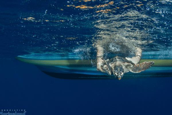 Emma, la tortue caouanne a été remise a l'eau ce mercredi au large d'Antibes