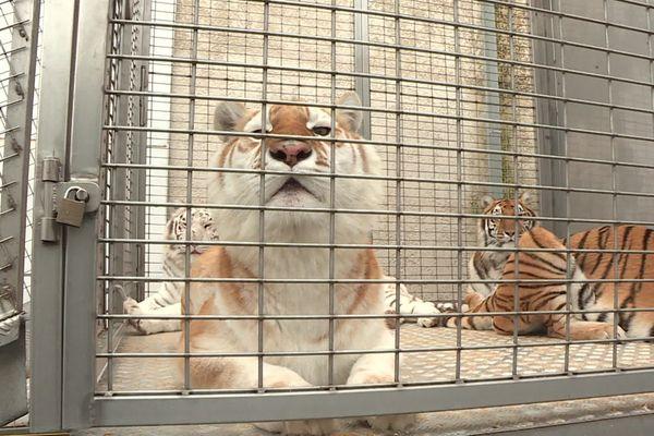 Une enquête pénale est en cours pour déterminer si les tigres de Blacourt étaient victimes de mauvais traitements.