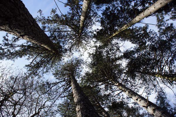 Les pins noirs de l'arboretum d'Amance