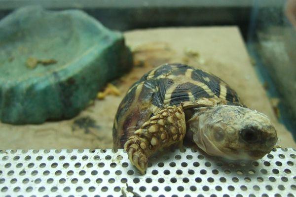 Selon les experts, les tortues sont des animaux très convoités et très menacés.