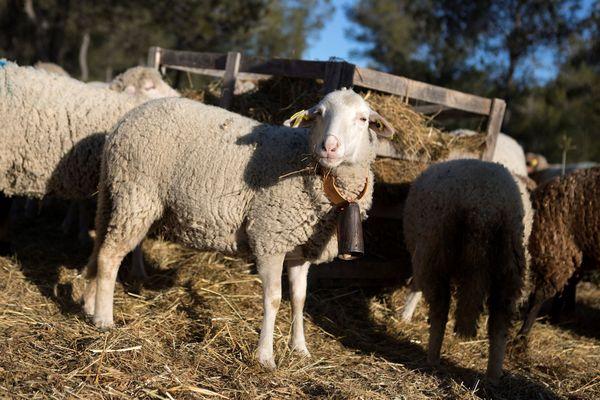 Illustration : brebis dans un élevage