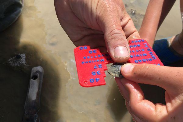 La taille minimum pour la palourde est de 3,5 cm, si le coquillage est plus petit, il faut le remettre dans le trou où il a été pêché