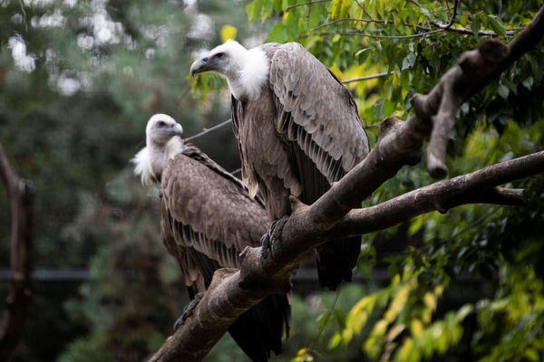 Les attaques de vautours se multiplient en Aveyron.
