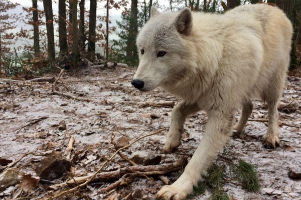Deux loups arctiques ont fait leur arrivée au parc Argonne Découverte. Les visiteurs pourront les admirer le 9 février 2019