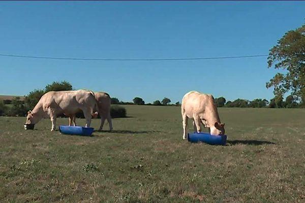 Pénurie d'alimentation pour les bêtes, la sécheresse pose de vrais problèmes aux agriculteurs