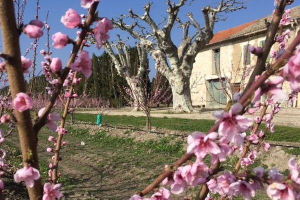 Un abricotier en fleur sur une exploitation à Tarascon