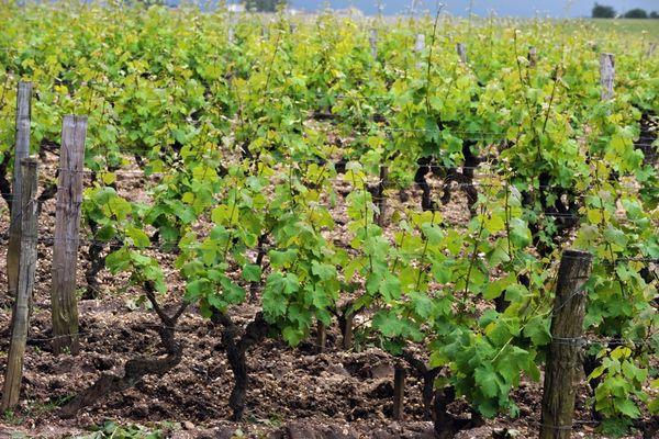 Vignes en Gironde (image d'illustration)