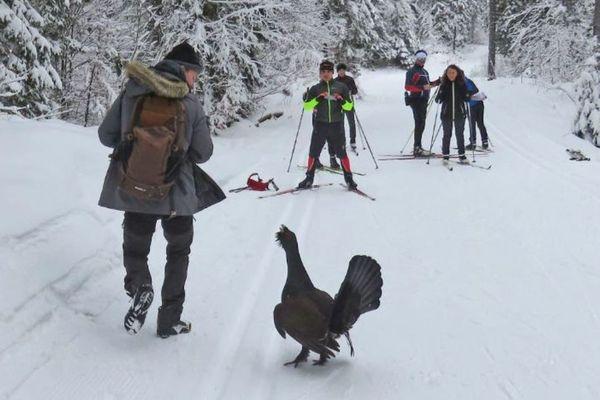 Un grand tétras fou et pas farouche sur les pistes de ski de fond du Jura.
