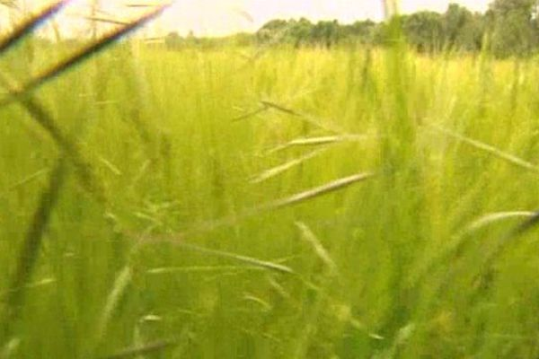 """Les graminées regroupent de très nombreuses espèces de plantes qu'on appelle communément """"herbes"""" ou """"céréales"""""""