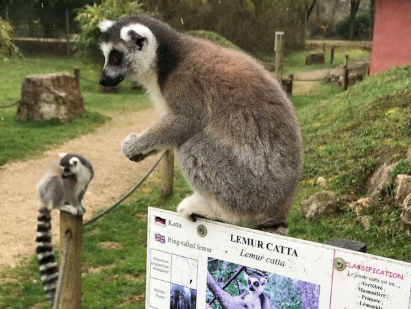 Les lémuriens du parc de l'Auxois évoluent en liberté