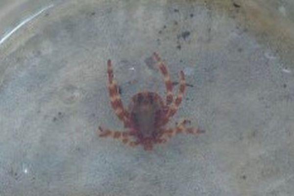 Hyalomma Marginatum to bardzo agresywny roztocz śródziemnomorski