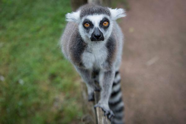 Le lémurien est un animal protégé par la convention de Genève. La peine encourue pour en détenir est de six mois de prison et 9.000 euros d'amende.