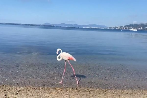 Le flamant rose lors de sa balade sur la plage des Ondes, à Antibes.