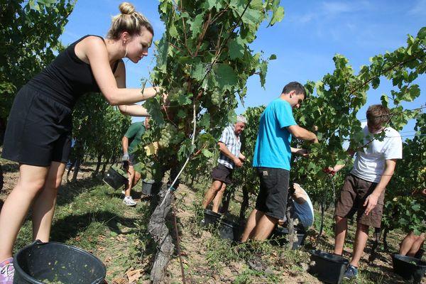 Ouverture des vendanges du Crémant à la cave viticole Jean Geiler de Ingersheim