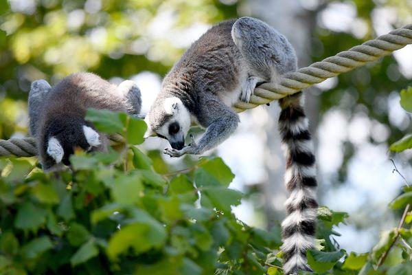 Le maki catta vient de Madagascar, connu pour sa longue queue rayée, il est un des lémuriens les plus recherchés par les trafiquants