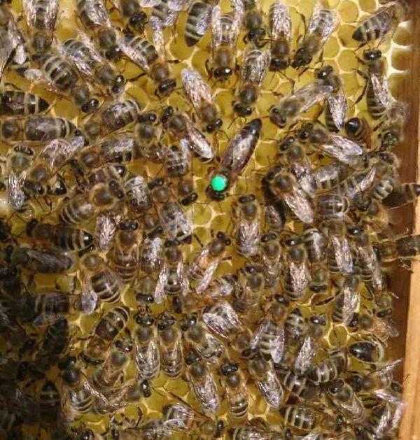 Les abeilles de Corantin en plein travail