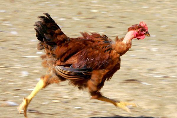La grippe aviaire met en danger de nombreux élevages dans le Gers