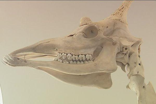 Le squelette de l'animal mesure 4 mètres 50 de haut