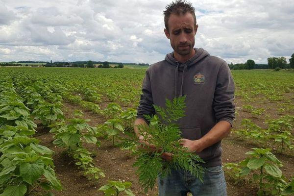 L'ambroisie est une espèce qui affecte surtout les champs de tournesol.