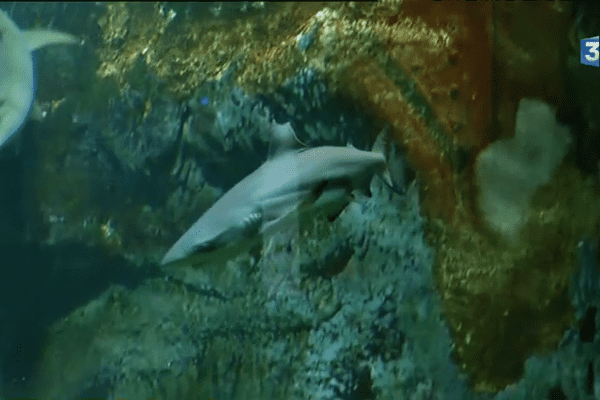 Les requins pointe noire de Pornic.