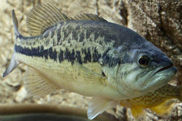 Ouverture de la pêche au black-bass