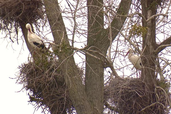 Plus de 600 nids de cigognes ont été répertoriés en Charente-Maritime en 2020.