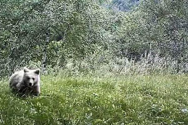 Ours subadulte  filmé dans l'Ariège