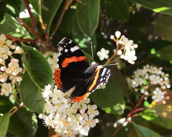 Un papillon sur un photinia en fleur dans un quartier pavillonnaire (Gard).