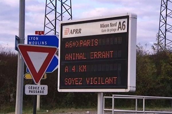 L'autoroute A6 a été fermée pendant 30 minutes ce mardi 29 novembre entre 9H30 et 10h, un sanglier se trouvait sur les voies de circulation
