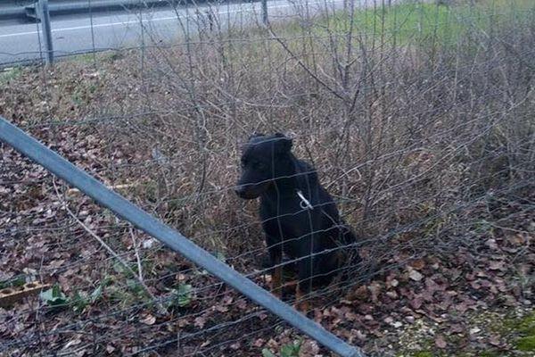 Le chien a été abandonné, attaché directement par un mousqueton au grillage de l'autoroute.