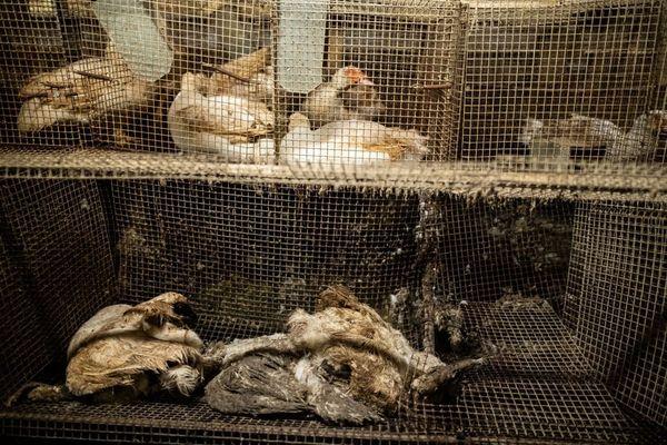 Des canards vivants, d'autres morts, dans des cages défoncées, sur un site de reproduction de canards utilisés pour le foie gras, situé à Lichos dans les Pyrénées-Atlantiques. Photos fournies par l'association L214 pour dénoncer la souffrance des animaux, les risques sanitaires, et les atteintes à l'environnement