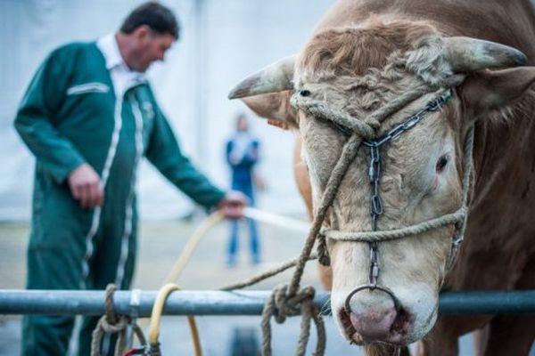 Les bovins absents du Sommet de l'élevage