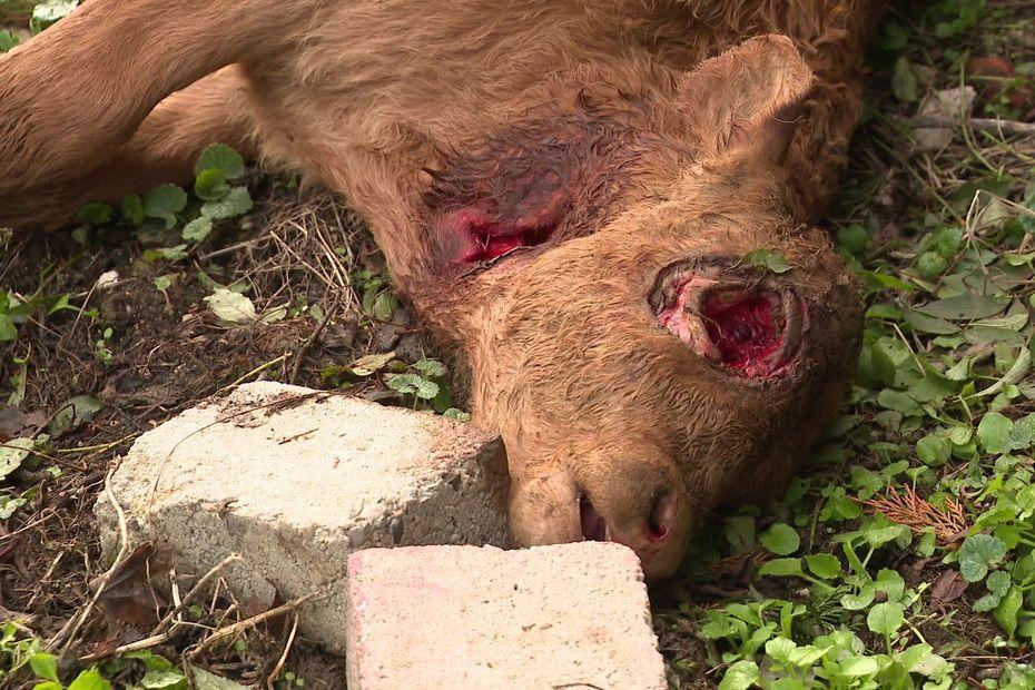 Les mutilations de bétail une explication ufologique? - Page 41 5f85b5f8de7a9_148_1739-00_00_02_11-5039732