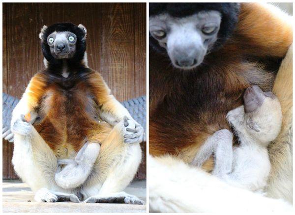 Le petit propithèque, âgé de quelques jours, avec sa maman Poppy